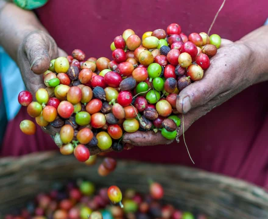 A farmer handles coffee cherries after they've been picked