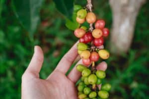 Coffee species around the world at risk from climate change