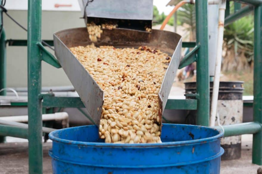 Machine removing the pulp from coffee cherries