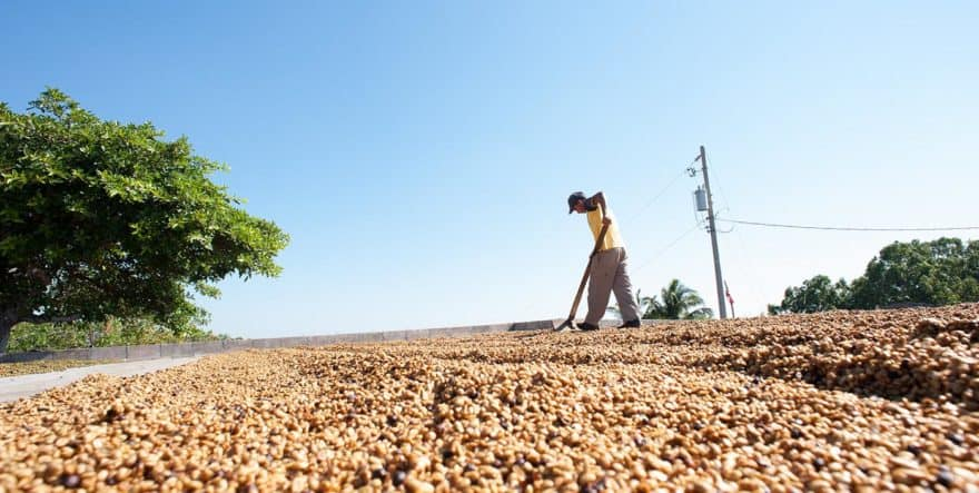 Man raking coffee cherries in the sun