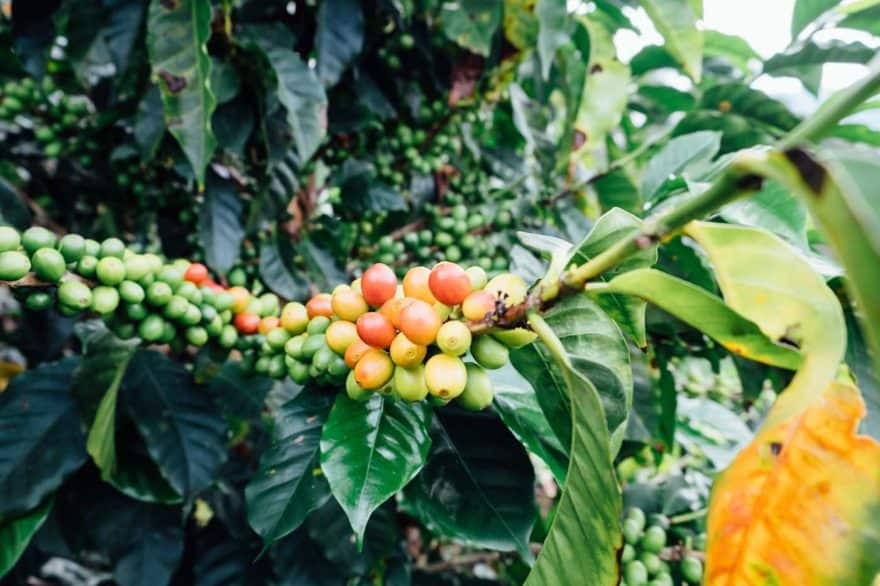 Multi-colored coffee cherries on the branch