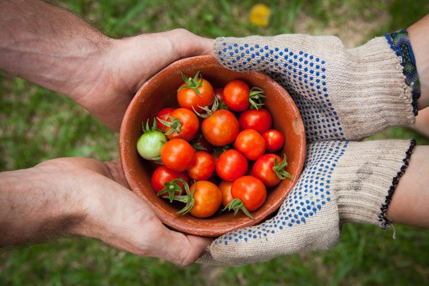 Juicy tomatoes being served