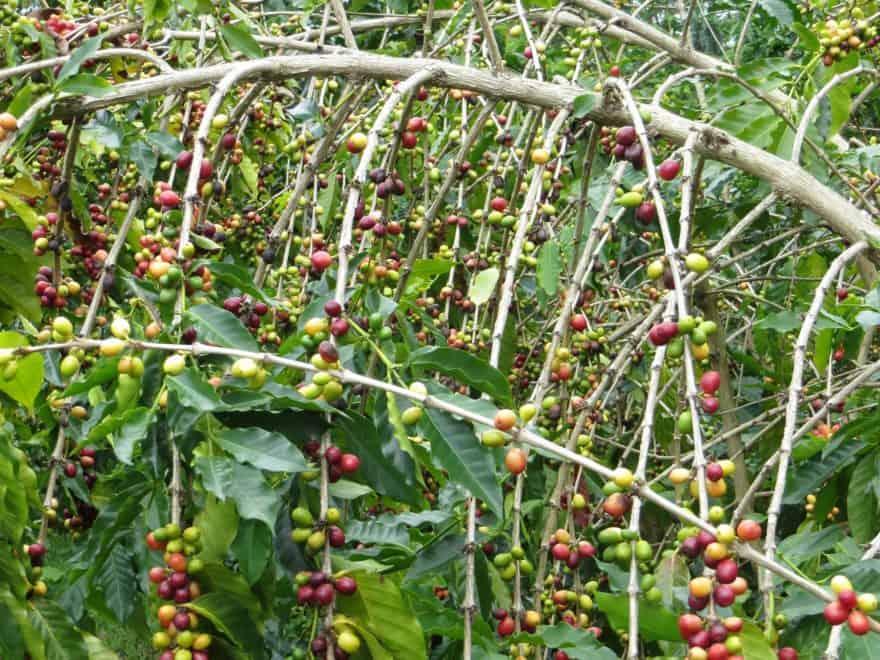 Coffee bean in kona