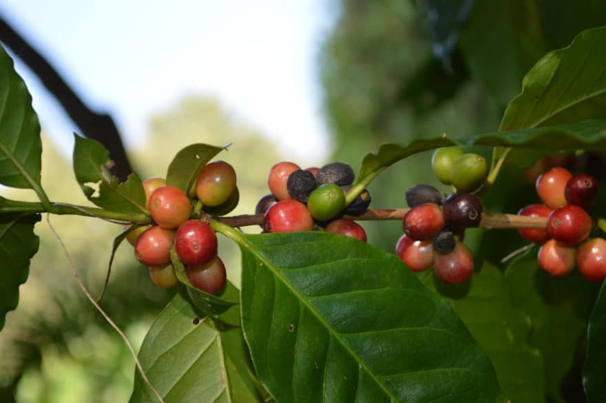 Coffea Robusta